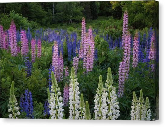 Shades Of Lupines Canvas Print