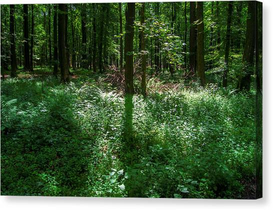 Shadow And Light In A Forest Canvas Print