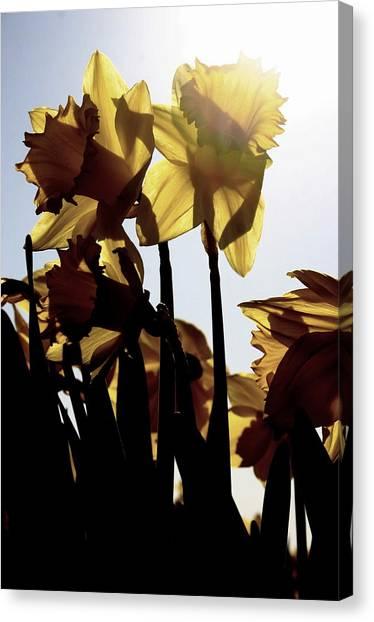 Shadowed Daffodils Canvas Print by Karla DeCamp