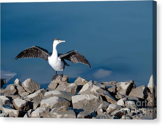 Shag Drying The Wings Canvas Print
