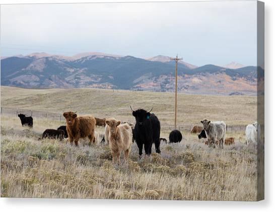 Shaggy-coated Cattle Near Jefferson Canvas Print