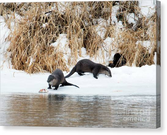 Otters Canvas Print - Sharing A Meal by Mike Dawson
