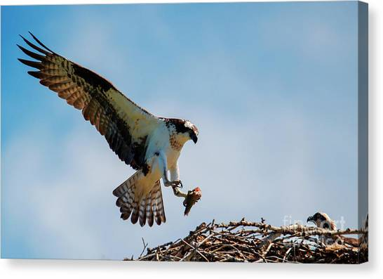 Osprey Canvas Print - Sharing Lunch by Mike Dawson