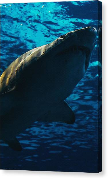 Tiger Sharks Canvas Print - Shark Above by Pati Photography