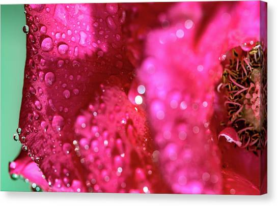 Canvas Print featuring the photograph Sharp Wet Rose by T Brian Jones