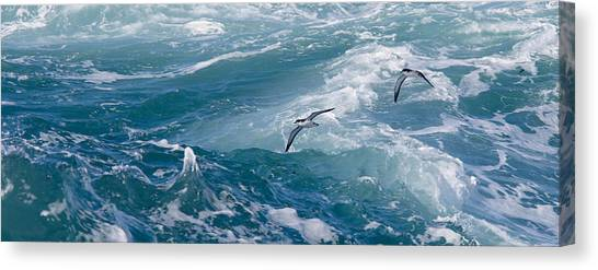 Shearwaters Canvas Print