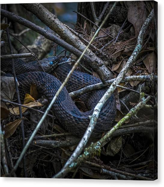 Coral Snakes Canvas Print - Shedding Time by Marvin Spates