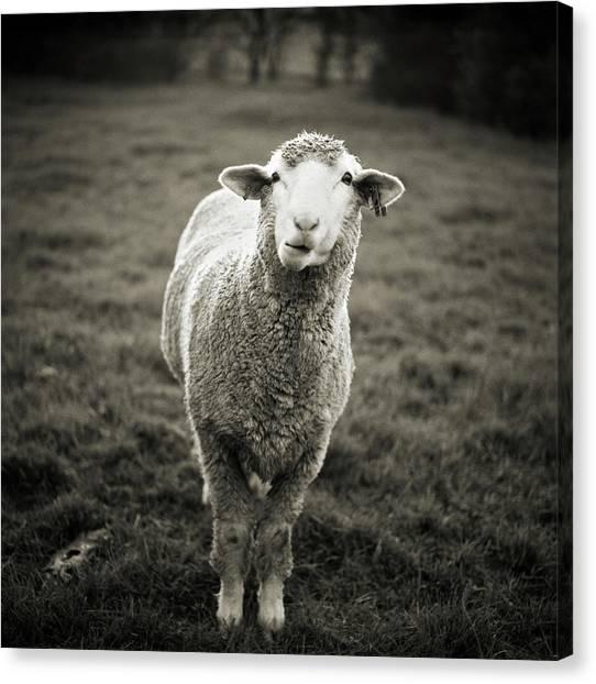 Sheep Canvas Print - Sheep Chewing Cud by Danielle D. Hughson