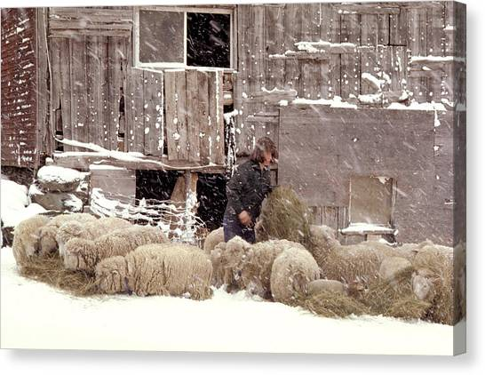 Sheep In Underhill Vermont. Canvas Print