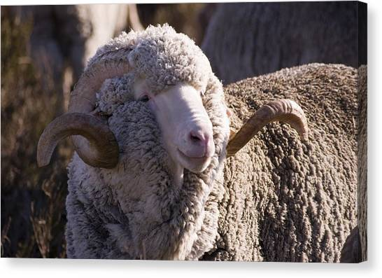 Farm Animals Canvas Print - Sheep by Maye Loeser