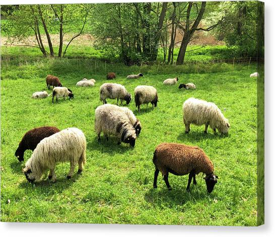 German Canvas Print - Sheep On Meadow by Matthias Hauser
