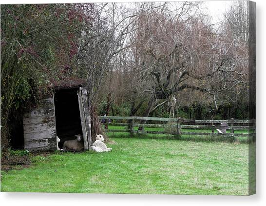 Sheep Shed Canvas Print