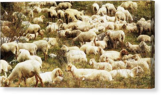 Sheep Canvas Print