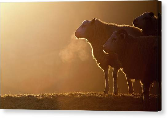 Sheep Canvas Print - Sheeps Breath by Peter Chadwick LRPS