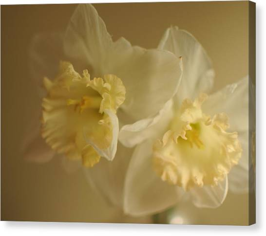 Sheer Daffodils Canvas Print by Beverly Cazzell