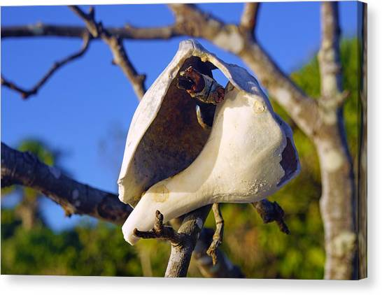 Shell On Brach Of Mangrove Tree At Barefoot Beach In Napes, Fl Canvas Print