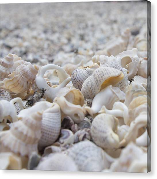 Shells 3 Canvas Print
