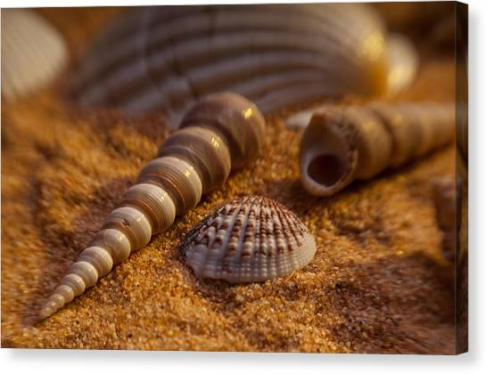 Shells Canvas Print by Anthony Towers