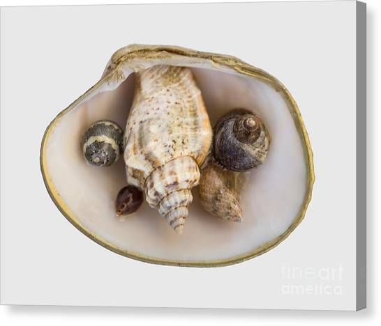 Shells Within A Sea Shell Canvas Print
