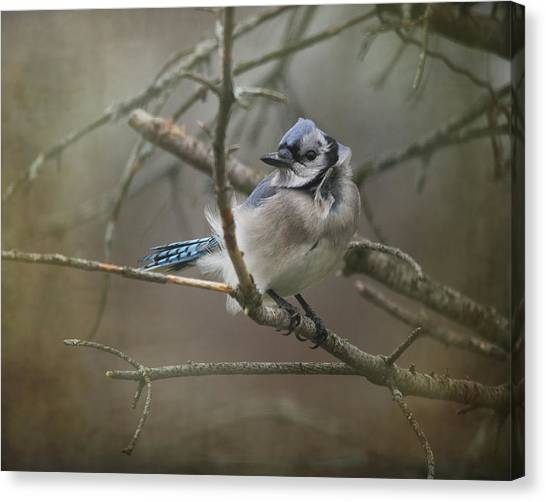 Bluejay Canvas Print - Shelter From The Wind by Susan Capuano