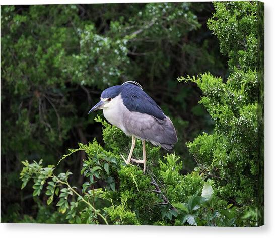 Shore Bird Roosting In A Tree Canvas Print
