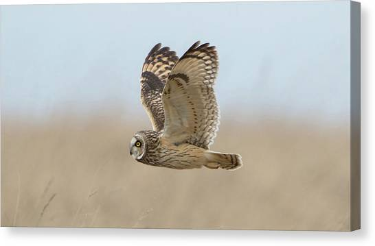 Short-eared Owl Hunting Canvas Print