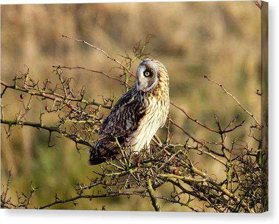 Short-eared Owl In Tree Canvas Print