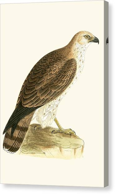 Toes Canvas Print - Short Toed Eagle by English School