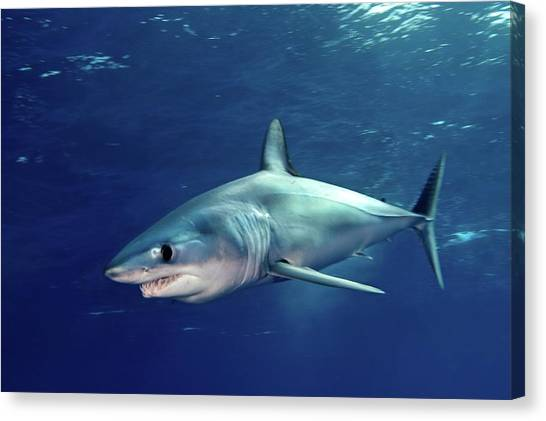 Atlantic Islands Canvas Print - Shortfin Mako Sharks by James R.D. Scott