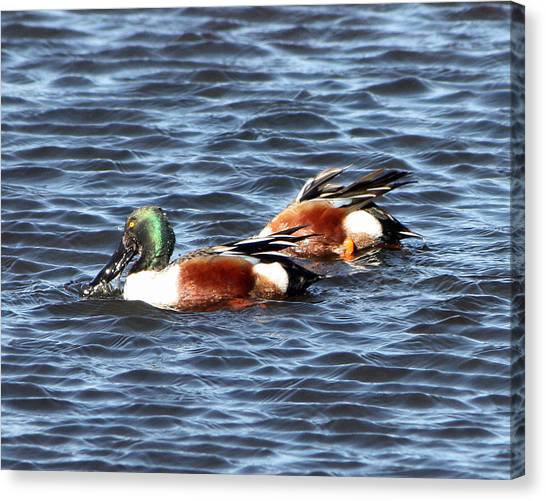 Shoveler Duck 1 Canvas Print