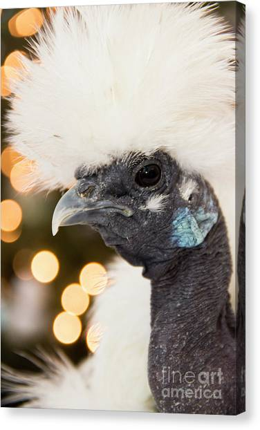 Showgirl A.k.a. Naked Neck Silkies Canvas Print