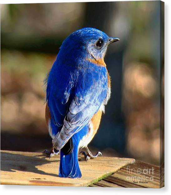 Showing Off My Beautiful Blue Feathers In The Sunlight Canvas Print