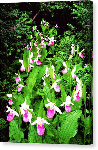 Showy Ladyslippers Canvas Print