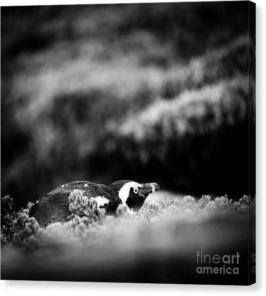 Canvas Print featuring the photograph Shy African Penguin Black And White by Tim Hester