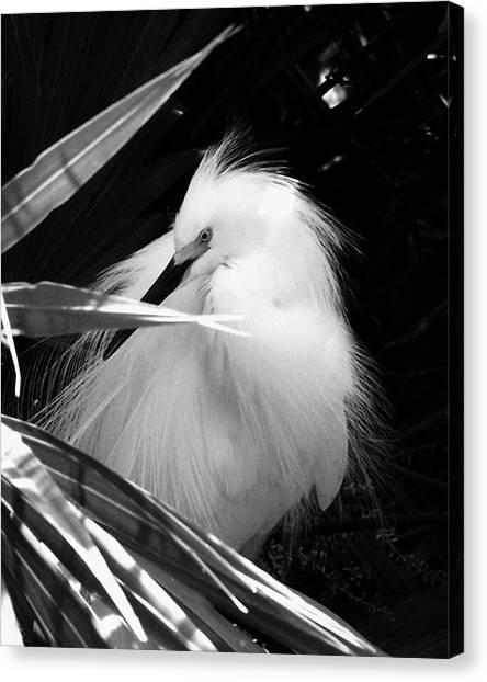 Shy Snowy Egret Canvas Print