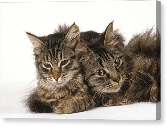Siberian Cats Canvas Print - Siberian Cats by Gerard Lacz