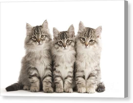 Siberian Cats Canvas Print - Siberian Cats by Jean-Michel Labat