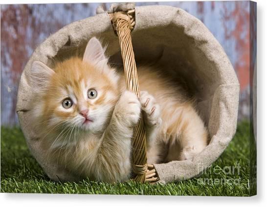 Siberian Cats Canvas Print - Siberian Kitten In Basket by Jean-Michel Labat