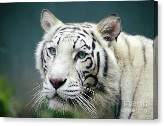 Siberian Cats Canvas Print - Siberian Tiger by Toula Mavridou-Messer