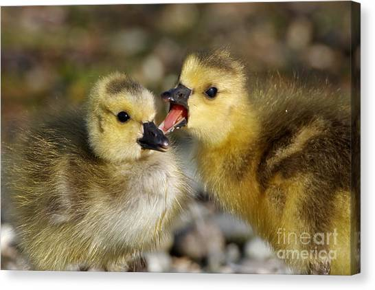Sibling Love - Baby Canada Geese Canvas Print