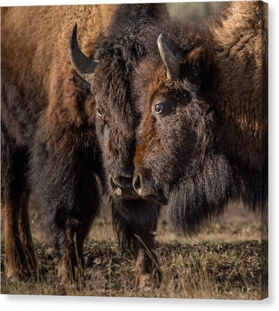 Yellowstone National Park Canvas Print - Siblings // Lamar Valley, Yellowstone National Park by Nicholas Parker