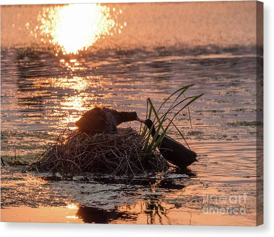Silhouette Of Nesting Coots - Fulica Atra - At Sunset On Golden Po Canvas Print