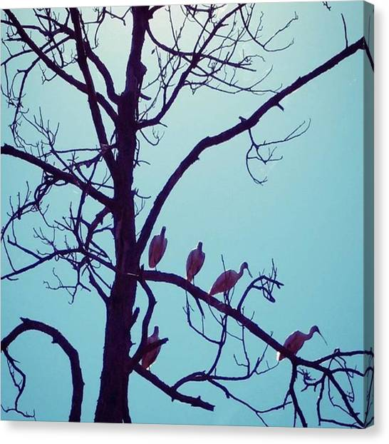 Spoonbills Canvas Print - Silhouette Of Pink Spoonbills. Kinda by Karen Breeze