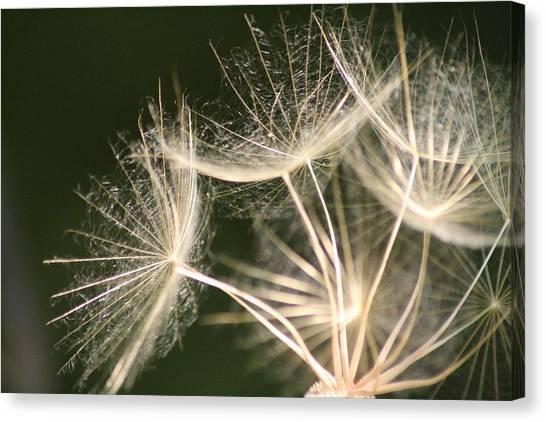 Silken Seed Parachutes Canvas Print
