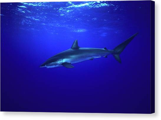 Silky Shark Canvas Print