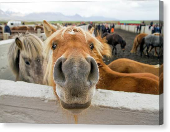 Funny Horses Canvas Print - Silly Icelandic Horse by For Ninety One Days