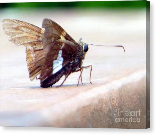 Silver Spotted Skipper Butterfly Canvas Print