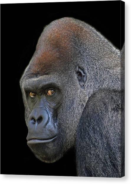 Silverback Lowland Gorilla Canvas Print