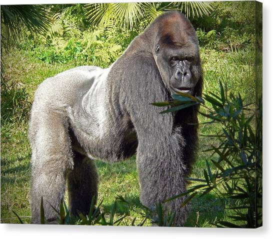 Gorillas Canvas Print - Silverback by Steven Sparks