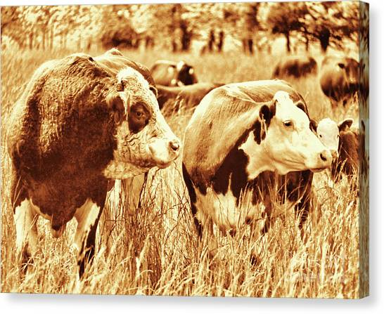 Simmental Bull 3 Canvas Print